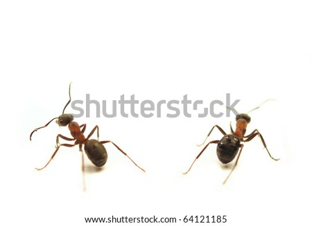 Ants isolated on white background - stock photo