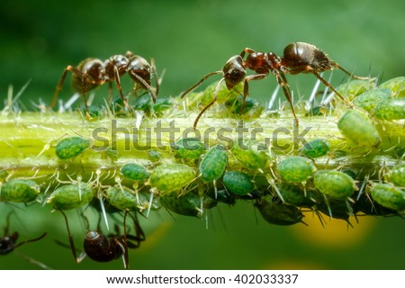 Ants taking care of aphids on nettle stem - stock photo