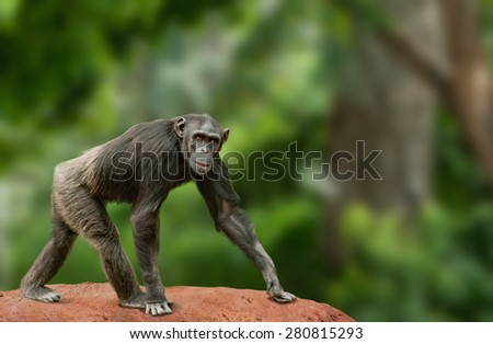 Ape chimpanzee female looking at camera, walking in jungle - stock photo