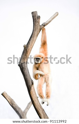 Ape hanging on a branch - stock photo