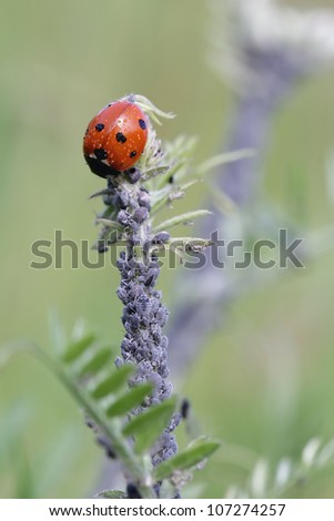 Aphids, also known as plant lice , greenflies, blackflies or whiteflies and ladybug - stock photo