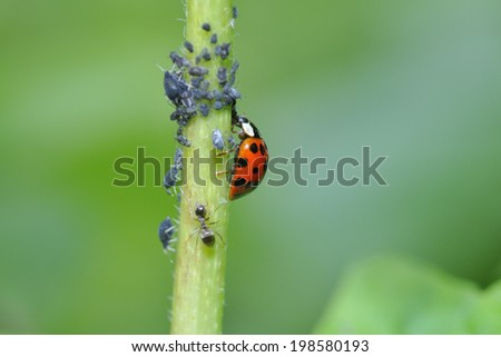 Aphids and a ladybug on a plant in the garden. - stock photo