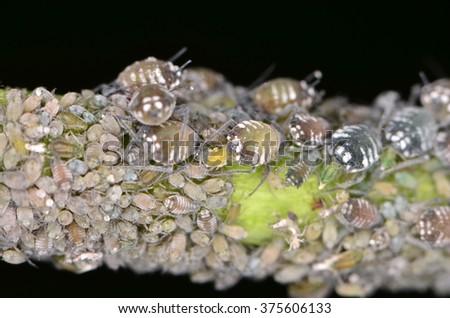 Aphis sambuci  - stock photo