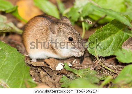 Apodemus agrarius, Striped Field Mouse. Timirjazevsky park, Moscow. Russia. - stock photo