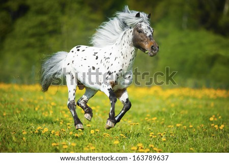 Appaloosa horse runs gallop on the meadow in summer time   - stock photo