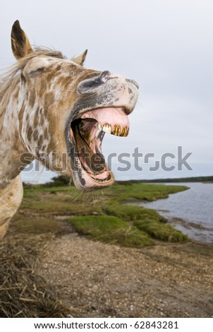 appaloosa horse yawning in comical way. - stock photo