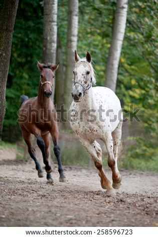 Appaloosa mare with foal running on meadow - stock photo