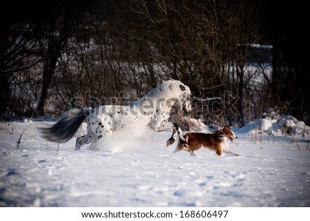 Appaloosa pony and sable border collie runs gallop in winter - stock photo
