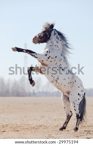 Appaluza horse became a buck. - stock photo