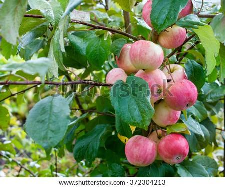 Apple, Apples on a branch, ripe fruit, rain drops, green leaves. - stock photo