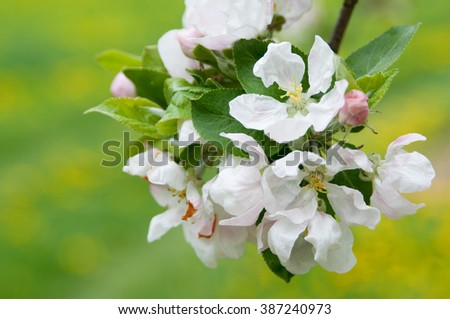 Apple blossom close-up. Shallow depth of field. - stock photo