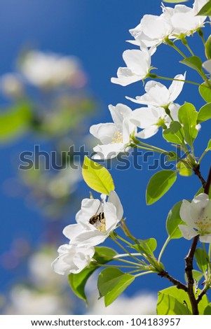Apple blossom close-up. Shallow dof. - stock photo