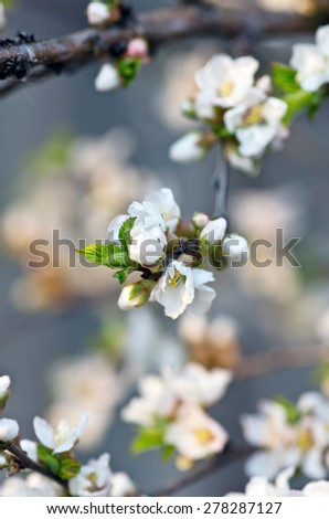 Apple blossom closeup over natural background  - stock photo