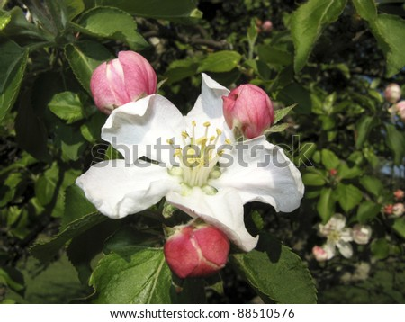 Apple Blossom Macro Horizontal - stock photo