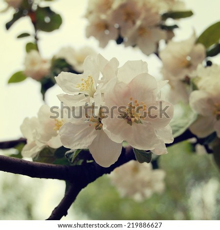 Apple Blossom Time. Blossoming apple flowers in spring - retro filter. Blossom apple tree - vintage effect. Apple flowers in bloom - toned effect. - stock photo