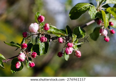 apple blossom tree over nature background - stock photo