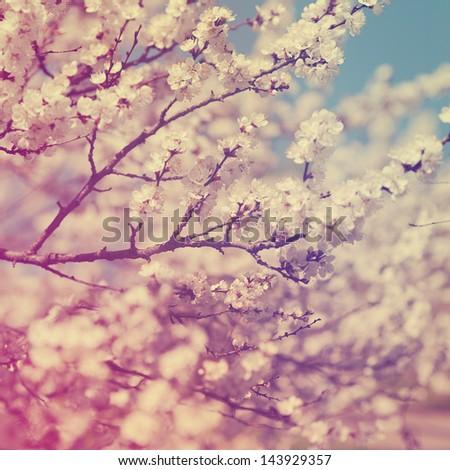apple blossom vintage background - stock photo