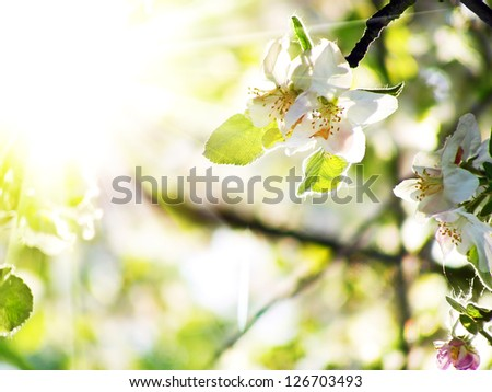 Apple blossom with sunlight. Spring theme. - stock photo