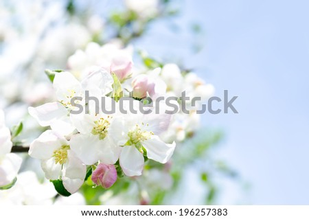 Apple blossoms and blue sky in spring day - stock photo
