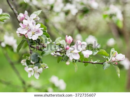 apple blossoms in spring on green background - stock photo
