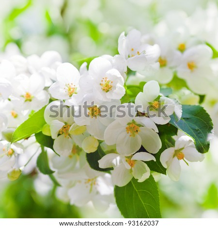 apple blossoms in spring on white background - stock photo