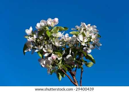 Apple Blossoms on Blue Sky - stock photo