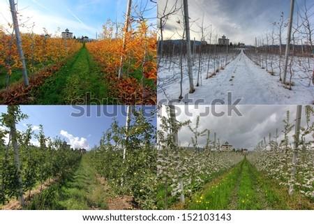 Apple field in four seasons - stock photo