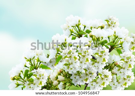 Apple flower isolated on the sky background. - stock photo