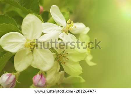 Apple flowers, abstract spring backgrounds - stock photo