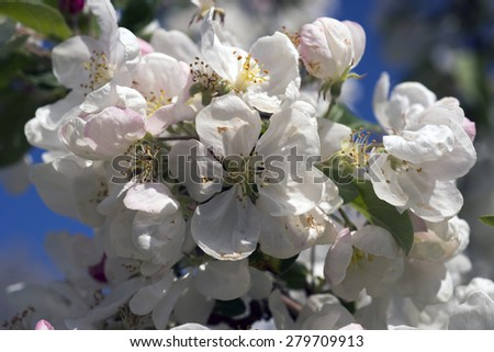 Apple flowers closeup in springtime - stock photo