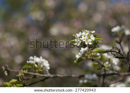 Apple flowers in the spring - stock photo