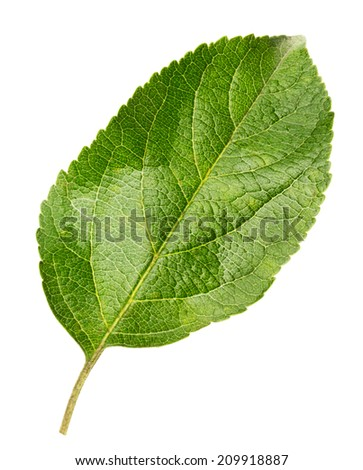 apple leaves isolated on the white background - stock photo