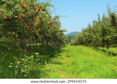 apple orchard - stock photo