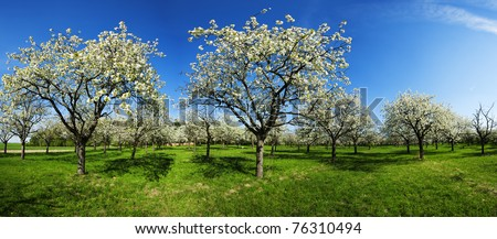 Apple Orchard in the middle of the spring season. Panoramic photo. - stock photo
