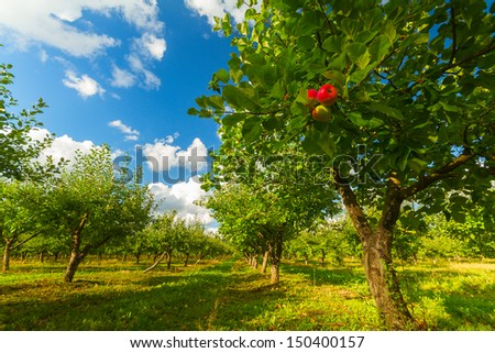 apple orchard with ripe apples - stock photo