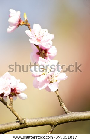 apple spring flower,white spring flowers,pink spring flowers,nature ,amazing nature ,fresh flowers,spring flowers ,flowers spring,flowers in the sky,flowers on blue background ,floral,spring,lovely - stock photo