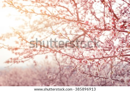 Apple spring flowers. Soft image of a blossoming tree  - stock photo