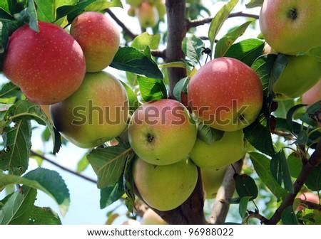 Apple tree - stock photo