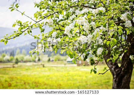 Apple tree blossoms over  nature background/ Spring flowers/Spring Background - stock photo