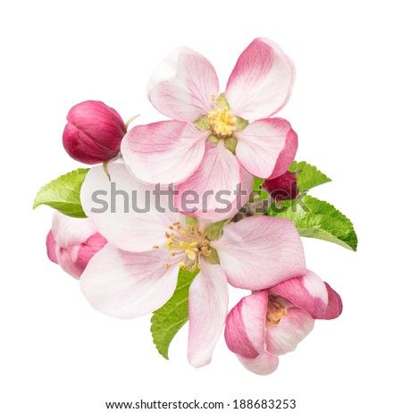 apple tree blossoms with green leaves isolated on white background - stock photo