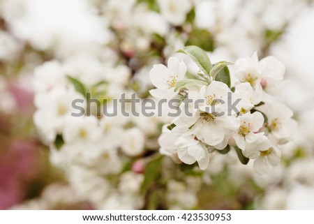 Apple tree branch in bloom over natural defocused bokeh background, close up - stock photo