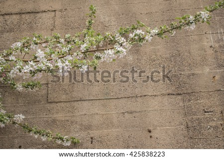 Apple tree branch with blossoms against a concrete wall. - stock photo