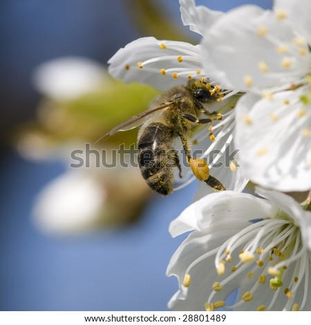 Apple tree flower and bee - stock photo
