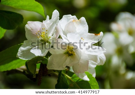 Apple-tree flower and sky in the spring season - stock photo