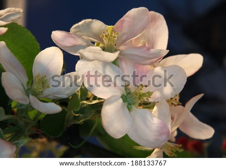 Apple tree flower at sunset  - stock photo
