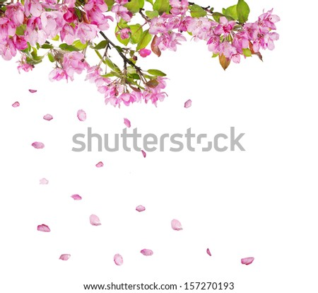 apple tree flower branches and falling petals isolated on white background - stock photo
