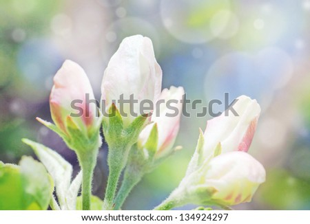 Apple tree flower buds with light effect perfect spring floral - stock photo