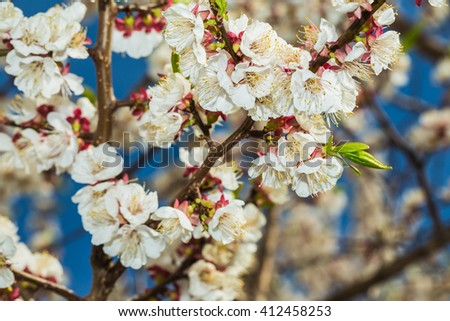 apple-tree flower illuminated by a bright ray of the spring sun - stock photo