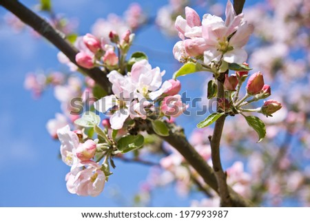 Apple tree flowers in spring orchard - stock photo