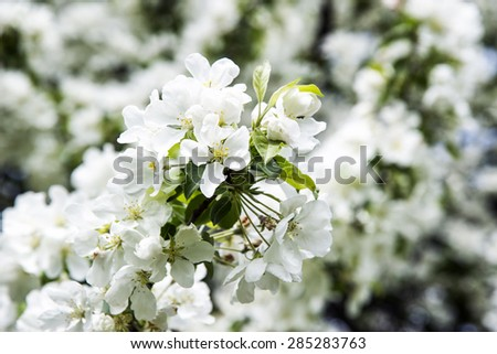 Apple tree flowers In the beginning of spring - stock photo